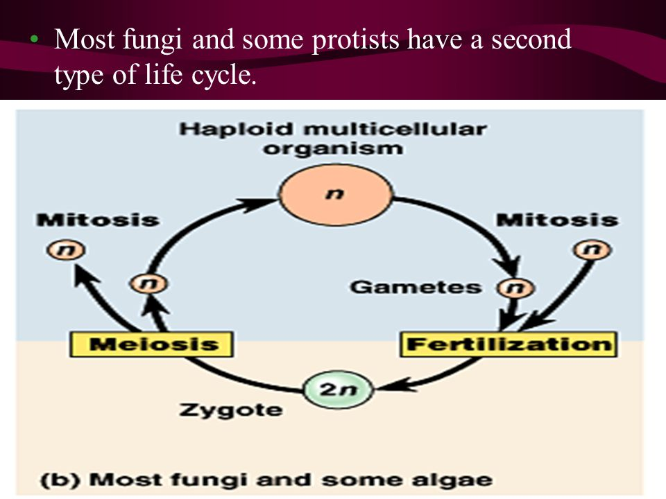 Most fungi and some protists have a second type of life cycle.