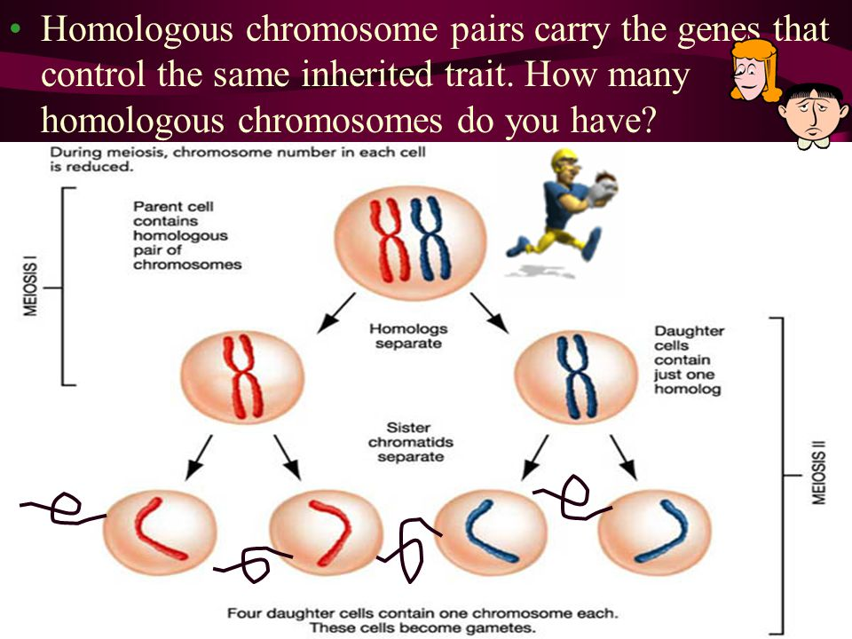 Homologous chromosome pairs carry the genes that control the same inherited trait. How many homologous chromosomes do you have