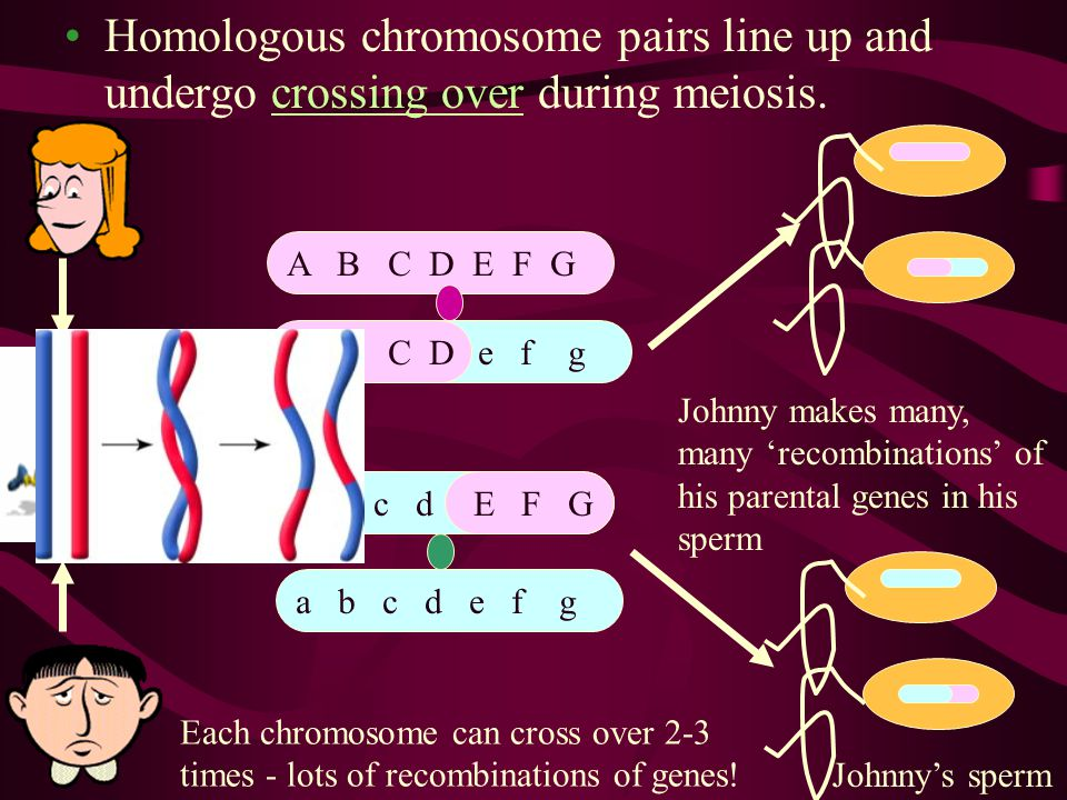 Homologous chromosome pairs line up and undergo crossing over during meiosis.