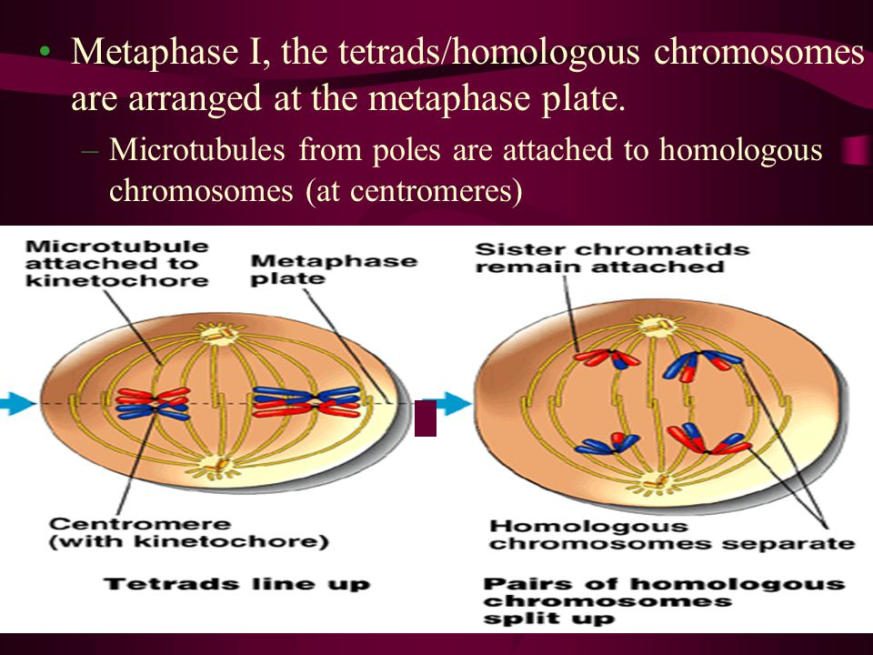Metaphase I, the tetrads/homologous chromosomes are arranged at the metaphase plate.