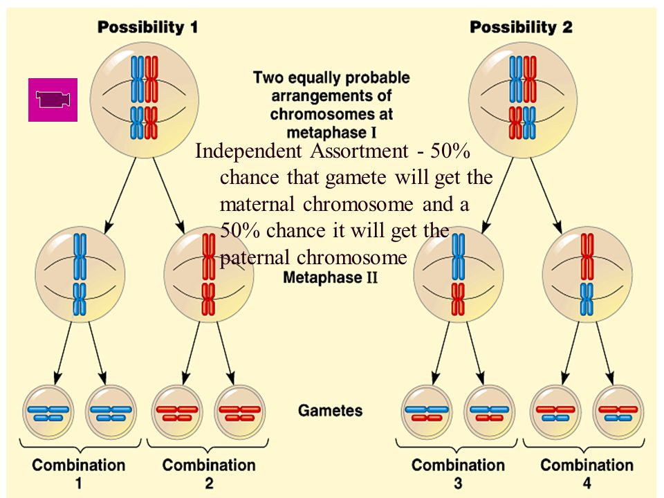 Independent Assortment - 50% chance that gamete will get the maternal chromosome and a 50% chance it will get the paternal chromosome
