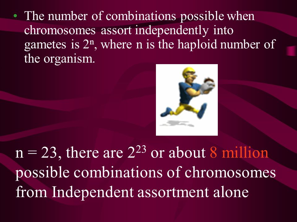 The number of combinations possible when chromosomes assort independently into gametes is 2n, where n is the haploid number of the organism.