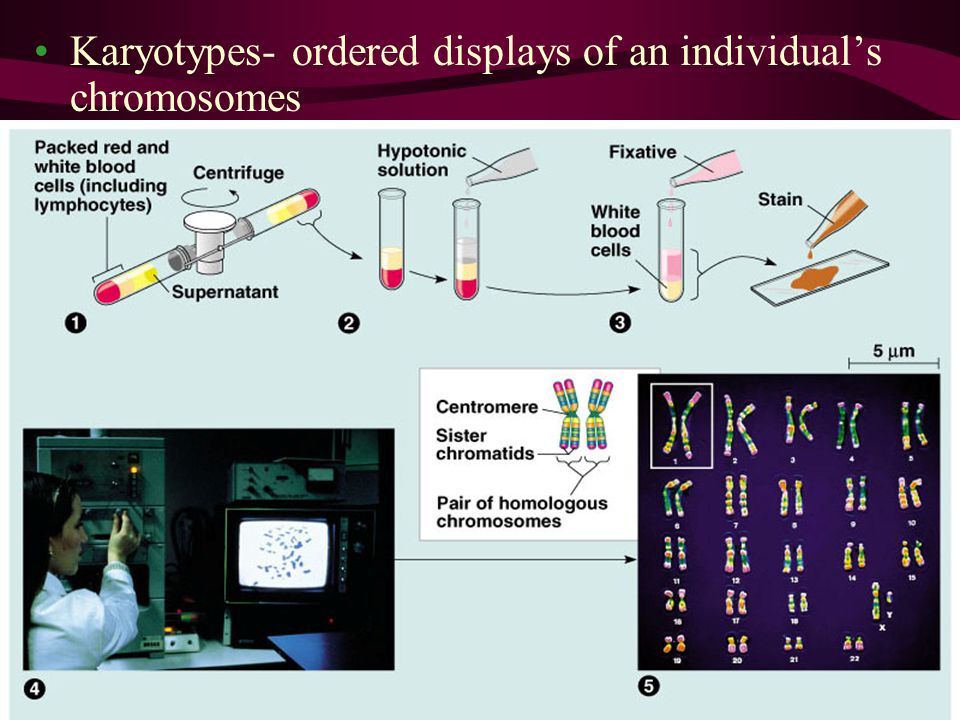 Karyotypes- ordered displays of an individual's chromosomes