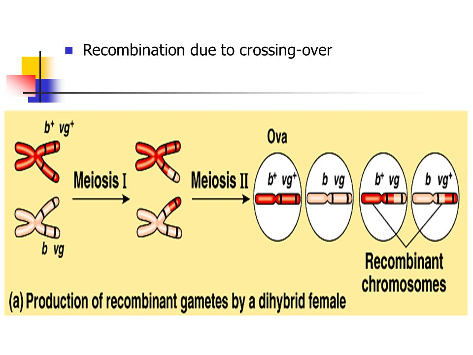 Recombination due to crossing-over