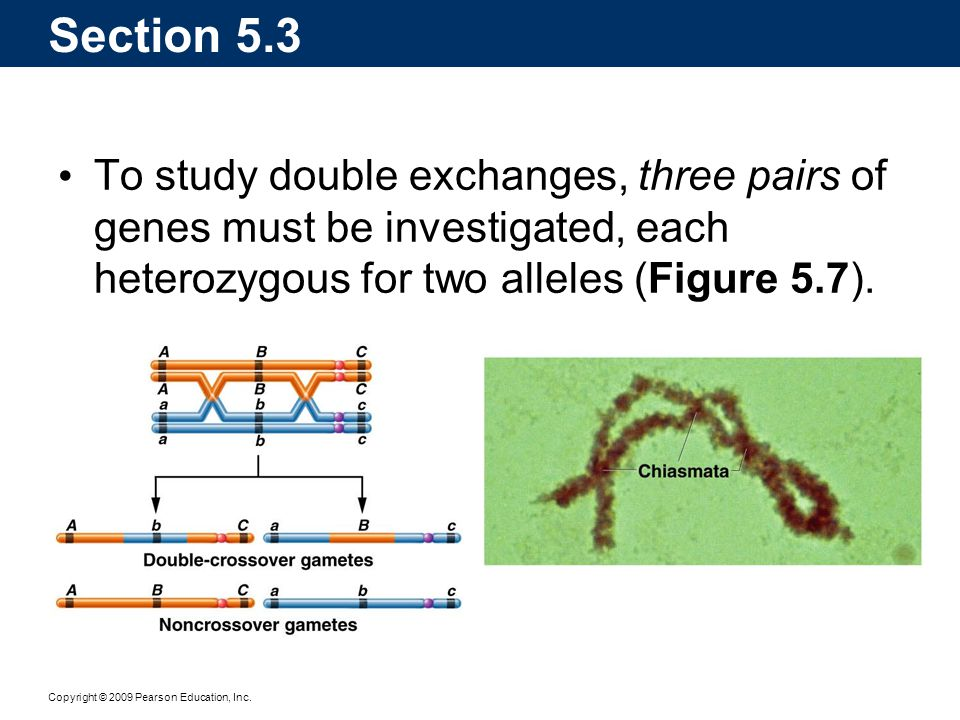 Section 5.3 To study double exchanges, three pairs of genes must be investigated, each heterozygous for two alleles (Figure 5.7).