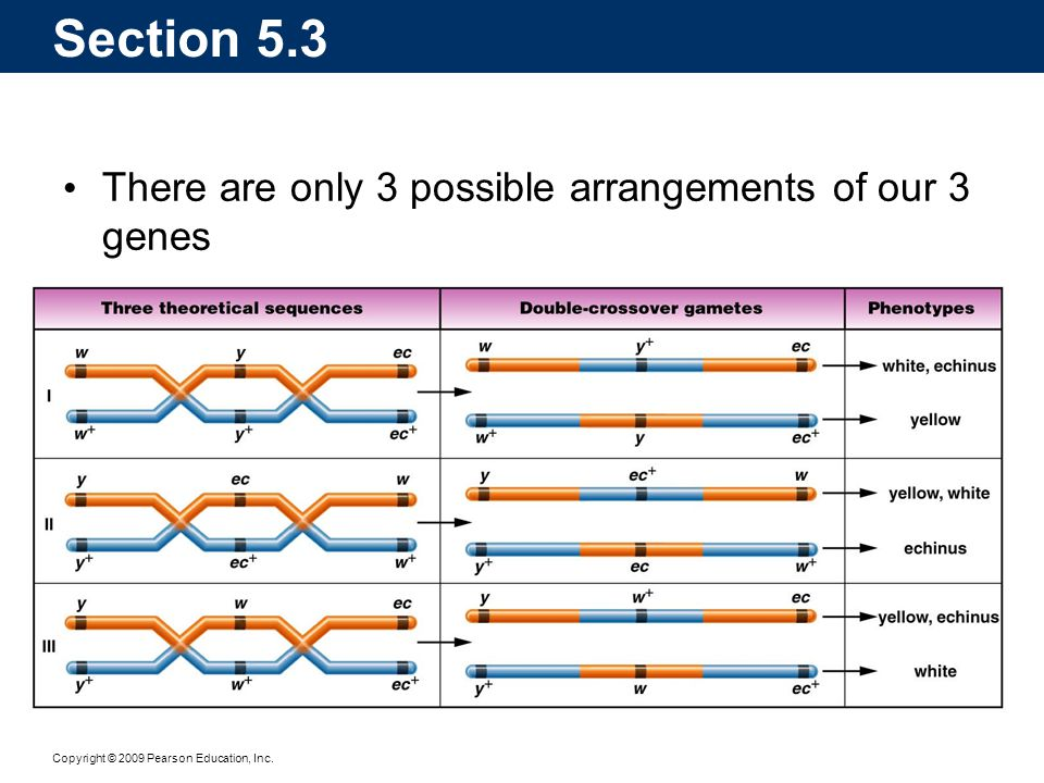 Section 5.3 There are only 3 possible arrangements of our 3 genes