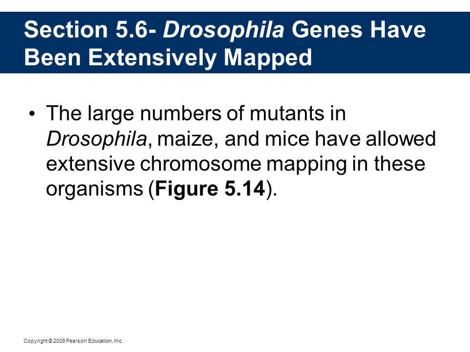 Section 5.6- Drosophila Genes Have Been Extensively Mapped