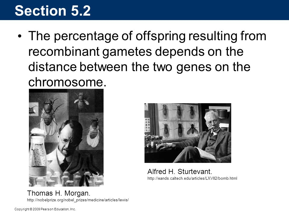 Section 5.2 The percentage of offspring resulting from recombinant gametes depends on the distance between the two genes on the chromosome.