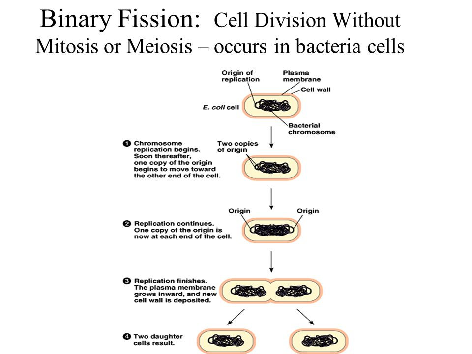 Binary Fission: Cell Division Without Mitosis or Meiosis – occurs in bacteria cells