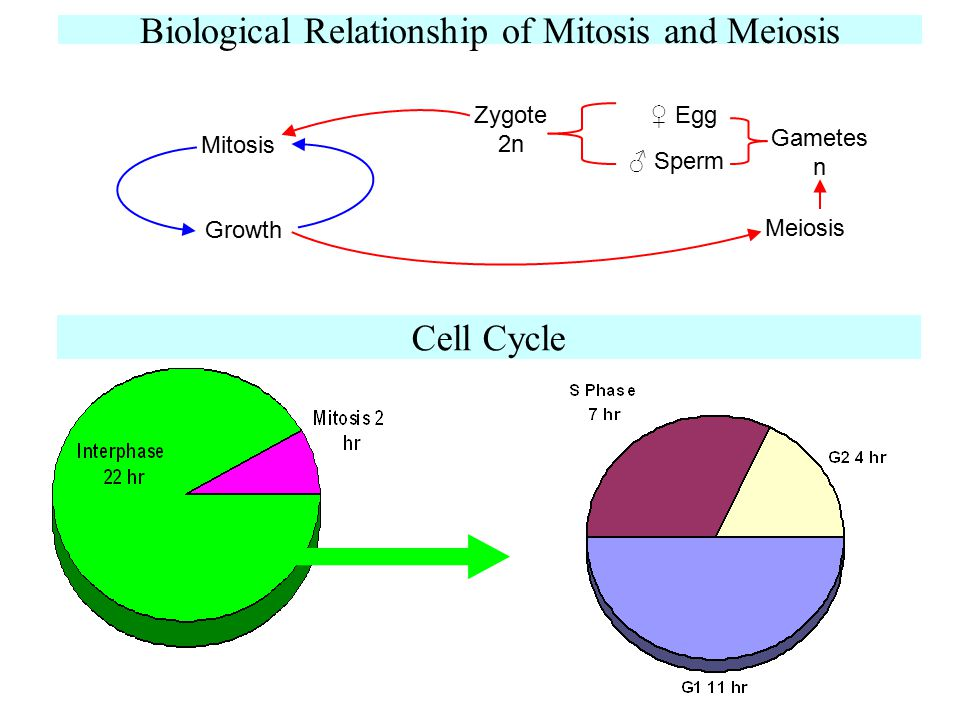 Biological Relationship of Mitosis and Meiosis
