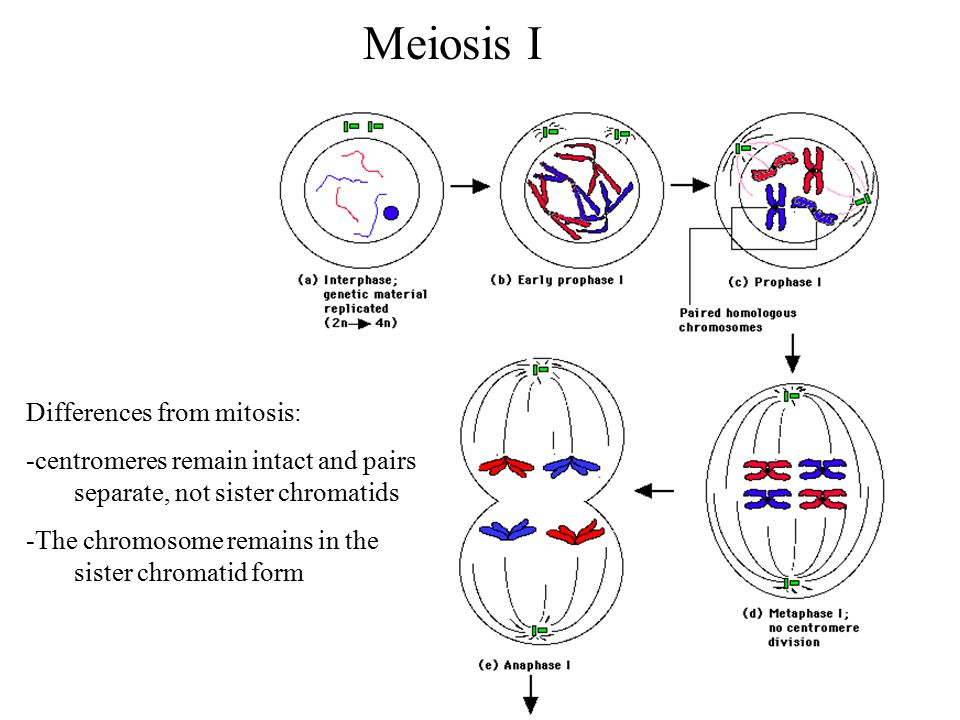 mitosis and meiosis difference pdf