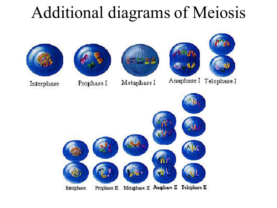 Additional diagrams of Meiosis