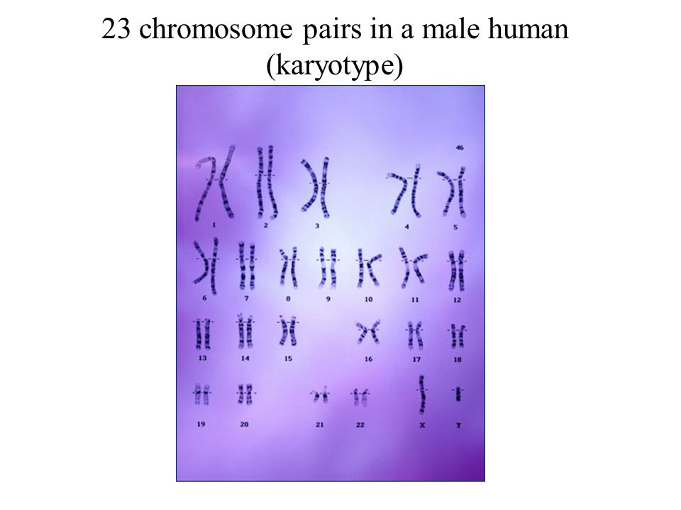 23 chromosome pairs in a male human (karyotype)