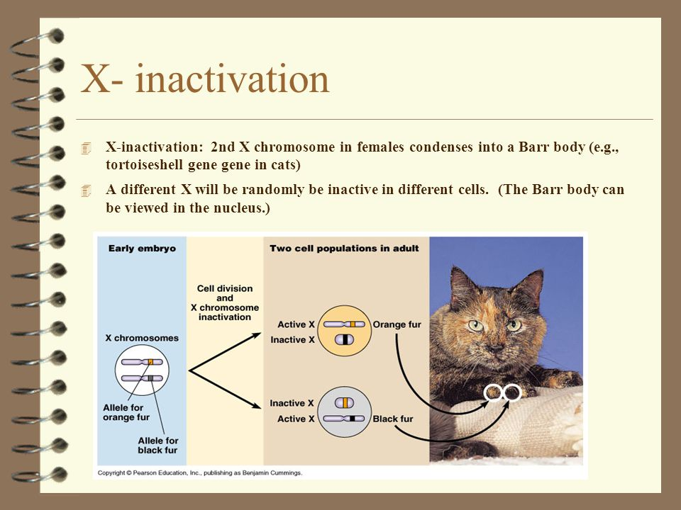 X- inactivation X-inactivation: 2nd X chromosome in females condenses into a Barr body (e.g., tortoiseshell gene gene in cats)