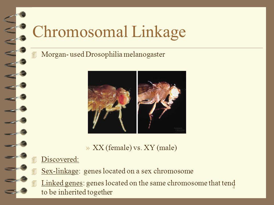 Chromosomal Linkage Morgan- used Drosophilia melanogaster
