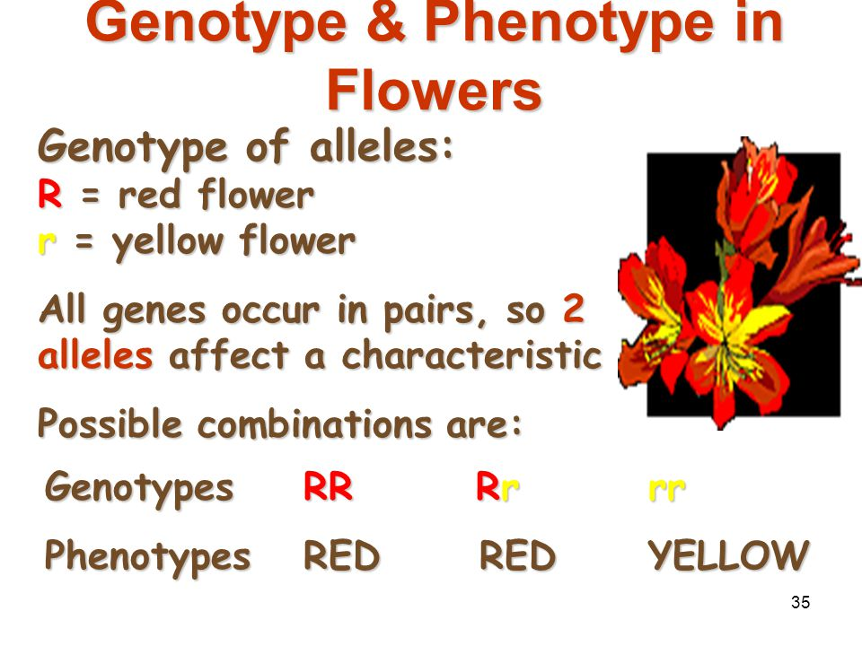 Genotype & Phenotype in Flowers