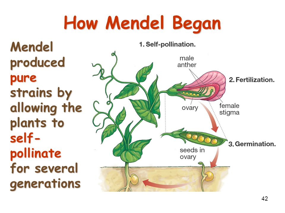 Mendelian Genetics 4/15/2017. How Mendel Began.