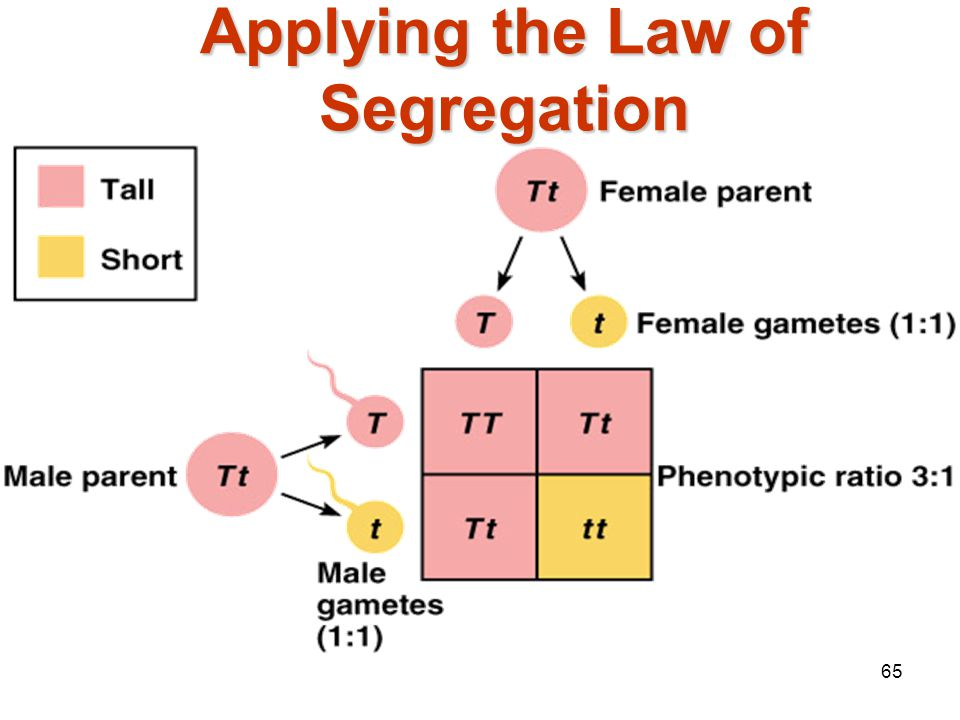 Applying the Law of Segregation