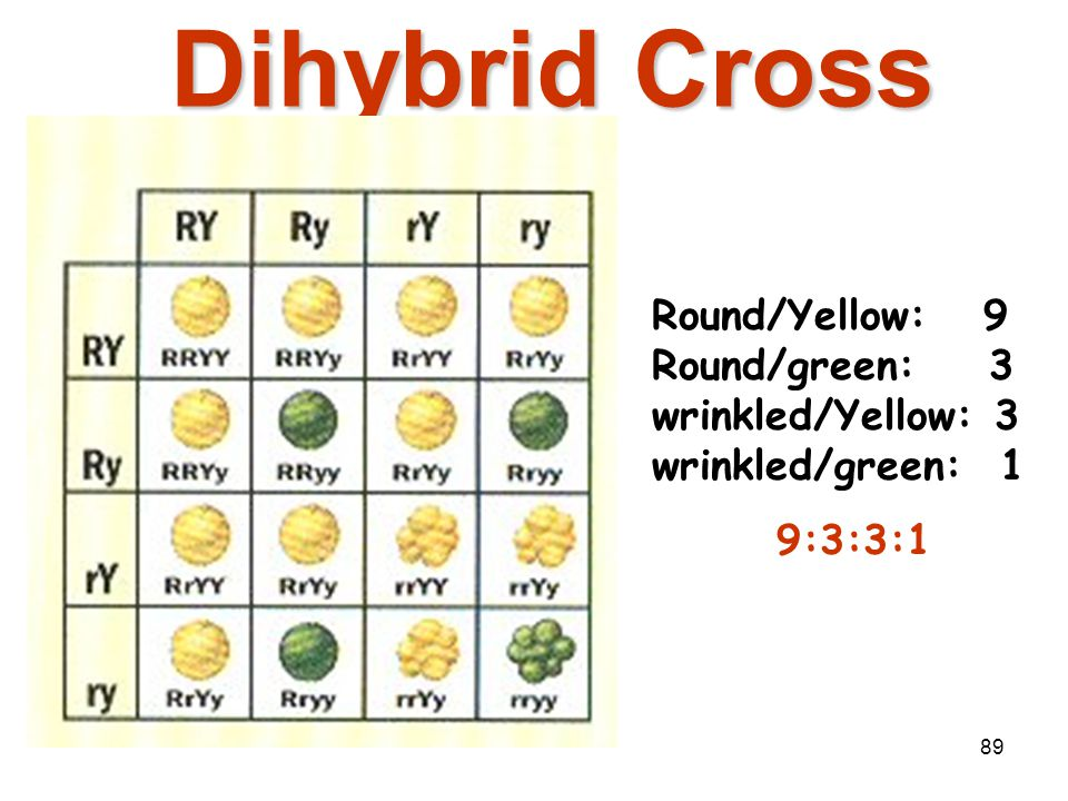 Mendelian Genetics 4/15/2017. Dihybrid Cross. Round/Yellow: 9 Round/green: 3 wrinkled/Yellow: 3 wrinkled/green: 1.