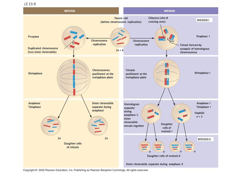 (before chromosome replication)
