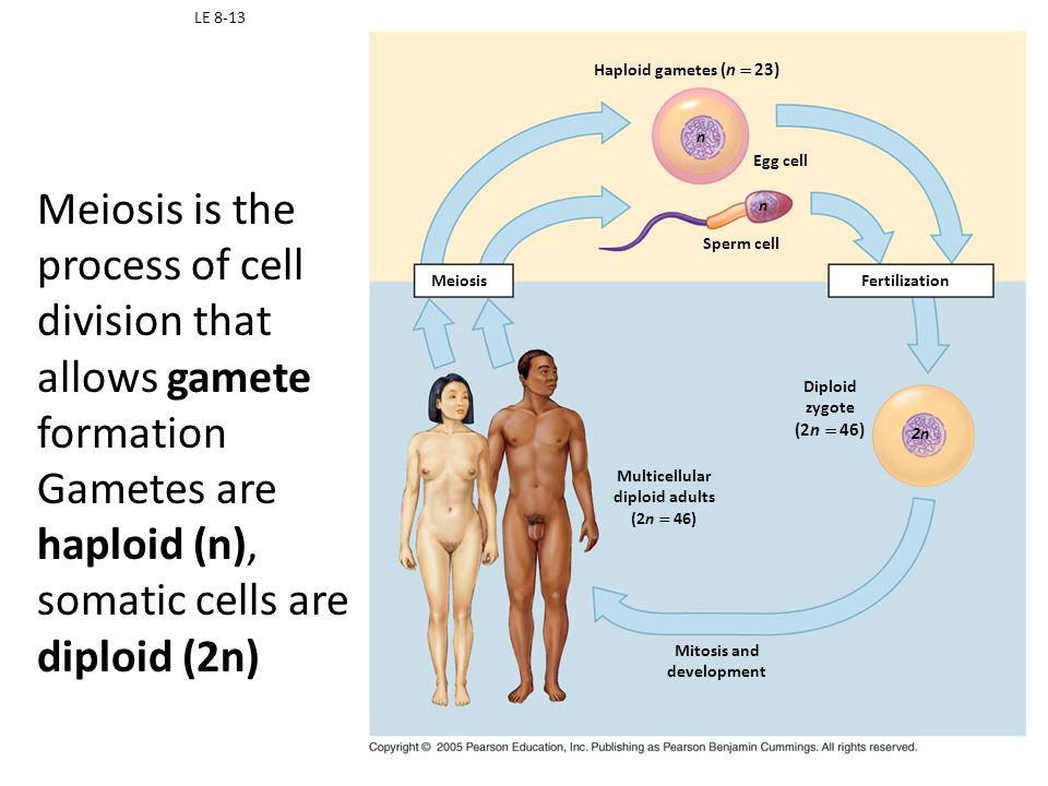 Meiosis is the process of cell division that allows gamete formation