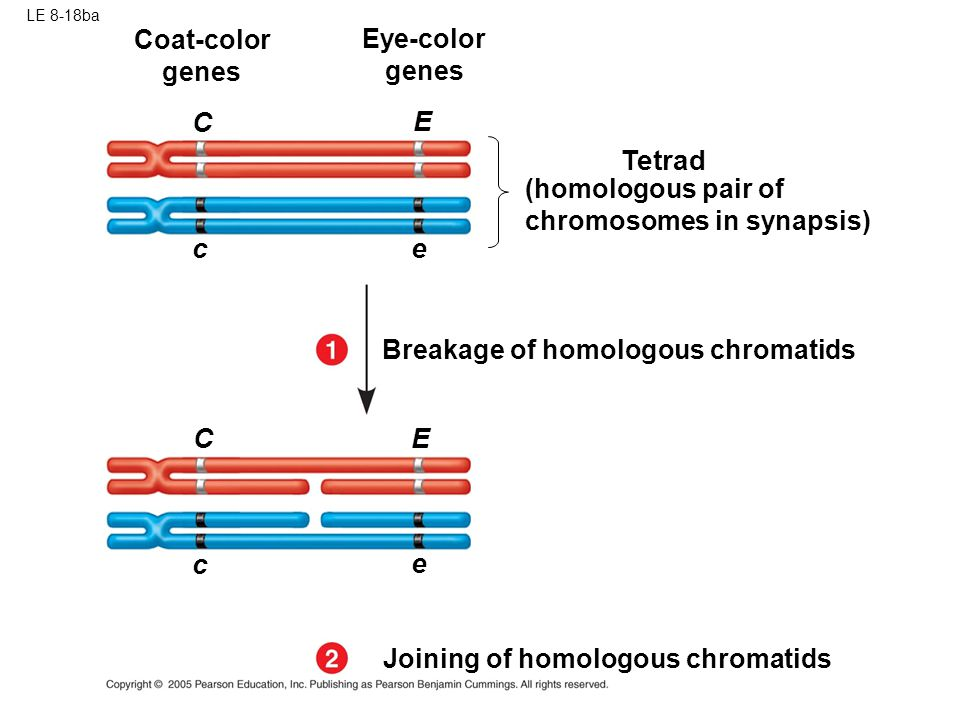 C E Tetrad c e C E c e Coat-color genes Eye-color genes