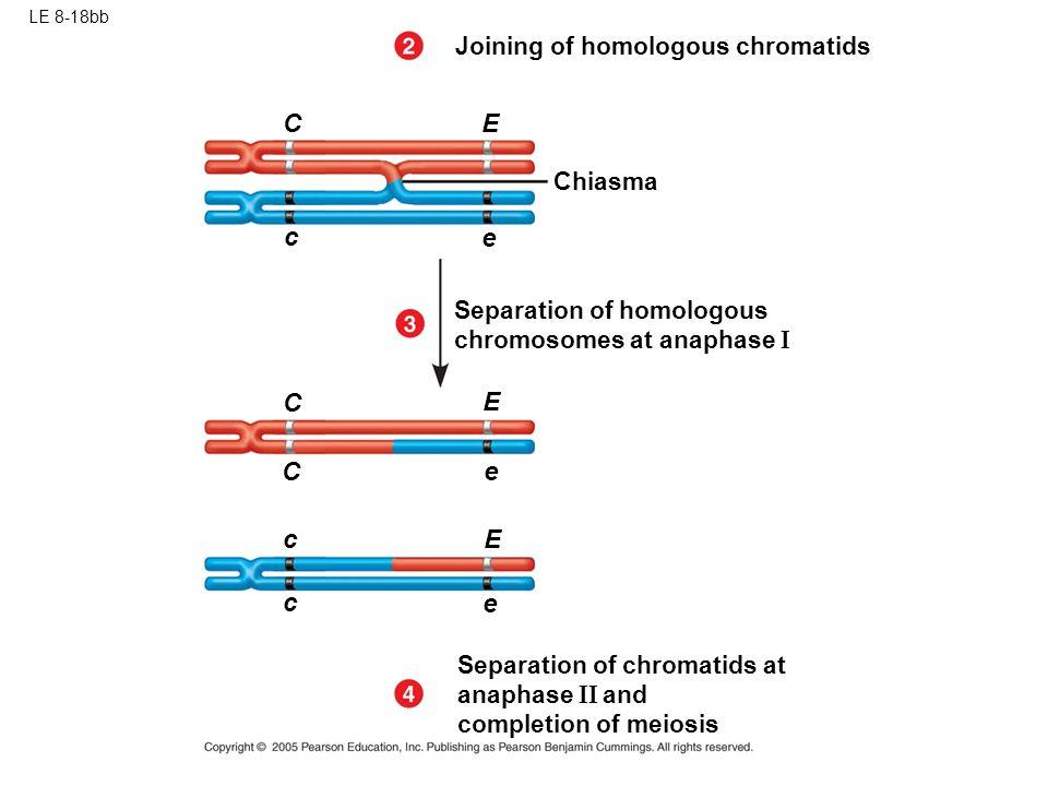 C E c e C E C e c E c e Joining of homologous chromatids Chiasma