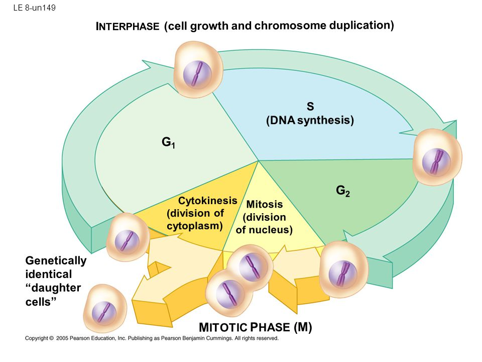 LE 8-un149 INTERPHASE (cell growth and chromosome duplication) S. (DNA synthesis) G1. G2. Cytokinesis.