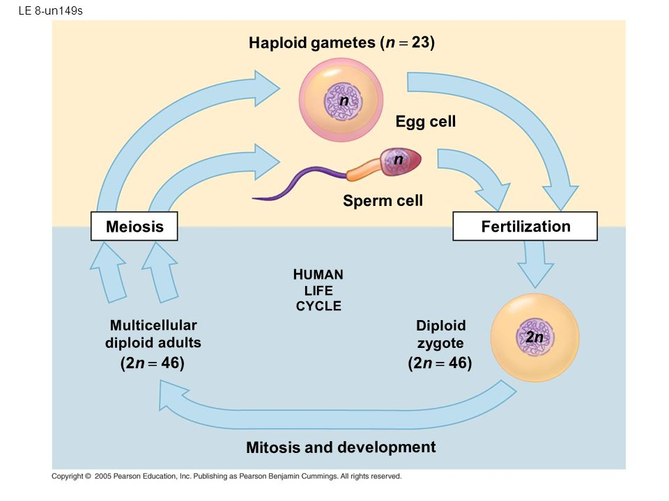 Mitosis and development