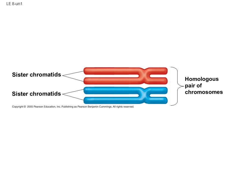 Sister chromatids Sister chromatids Homologous pair of chromosomes
