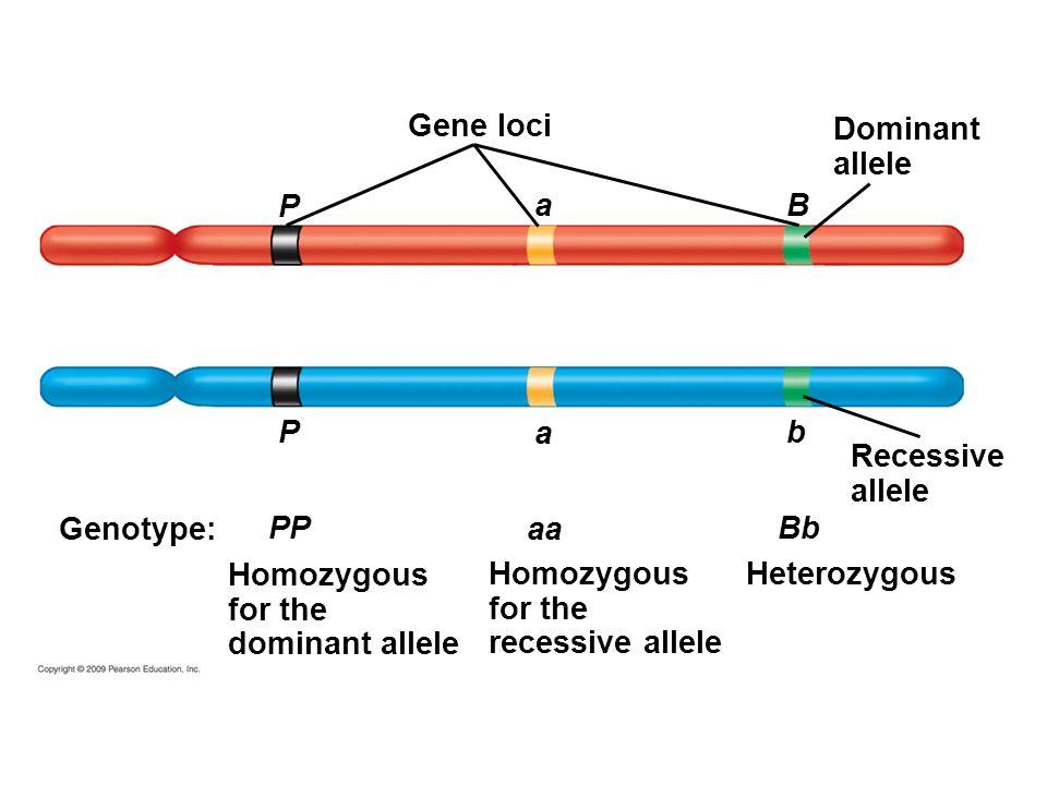 Gene loci Dominant allele P a B P a b Recessive allele Genotype: PP aa