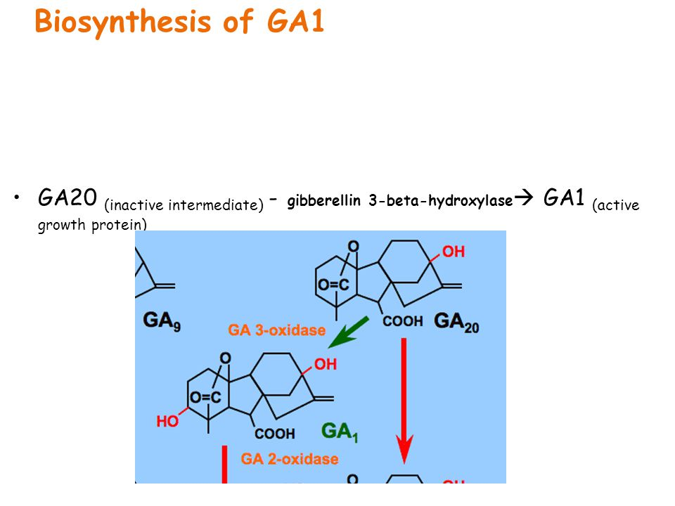 Biosynthesis of GA1 GA20 (inactive intermediate) - gibberellin 3-beta-hydroxylase GA1 (active growth protein)