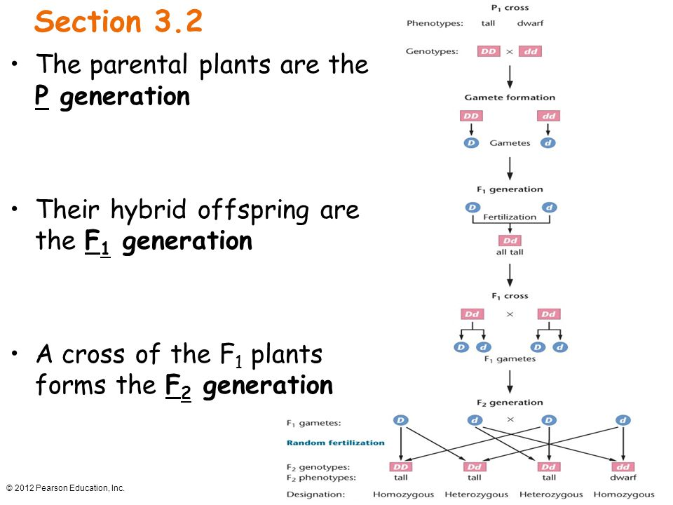 Section 3.2 The parental plants are the P generation