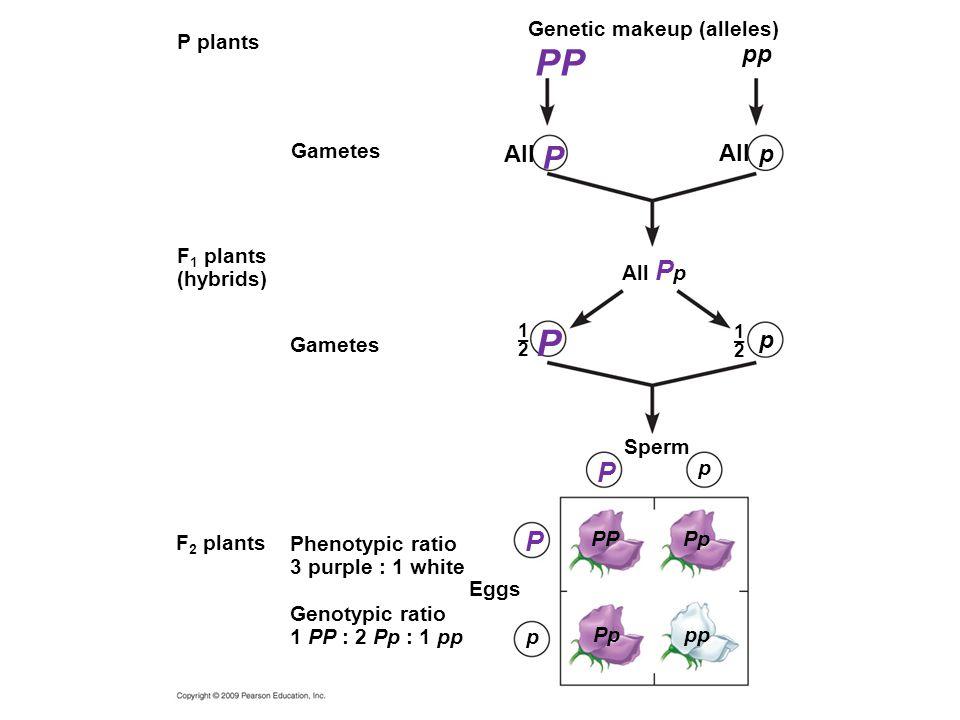 PP P P P P pp All All p p Genetic makeup (alleles) P plants Gametes