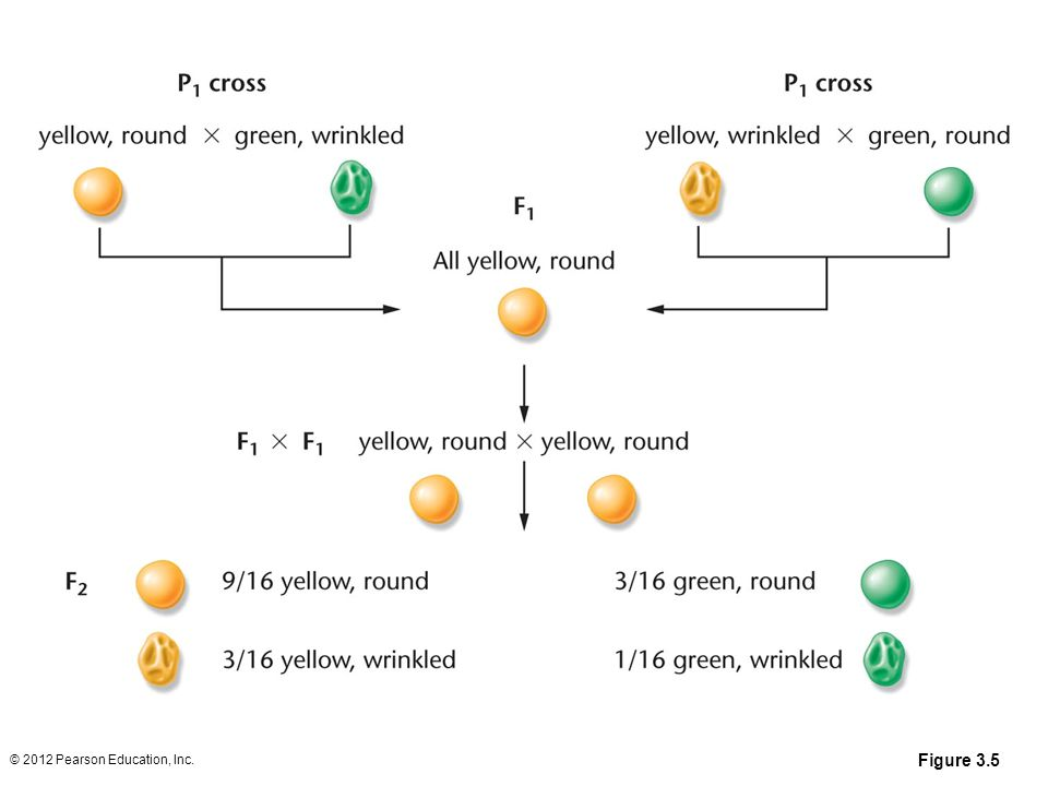 Figure 3.5 © 2012 Pearson Education, Inc.