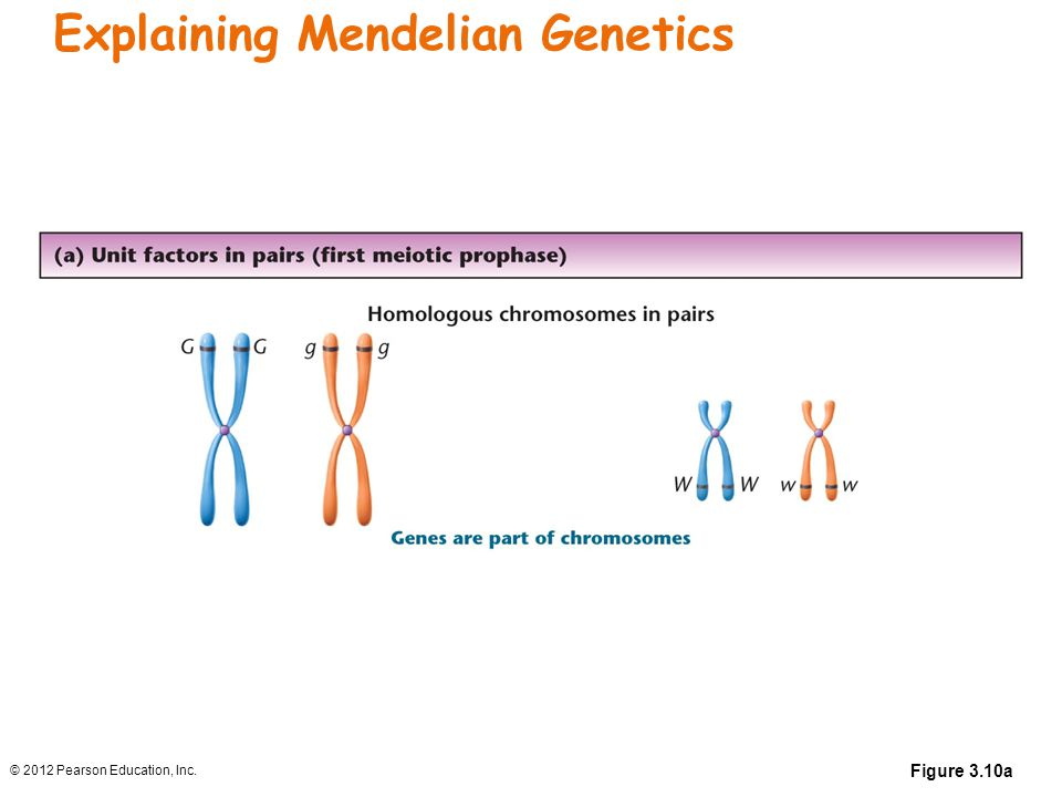 Explaining Mendelian Genetics
