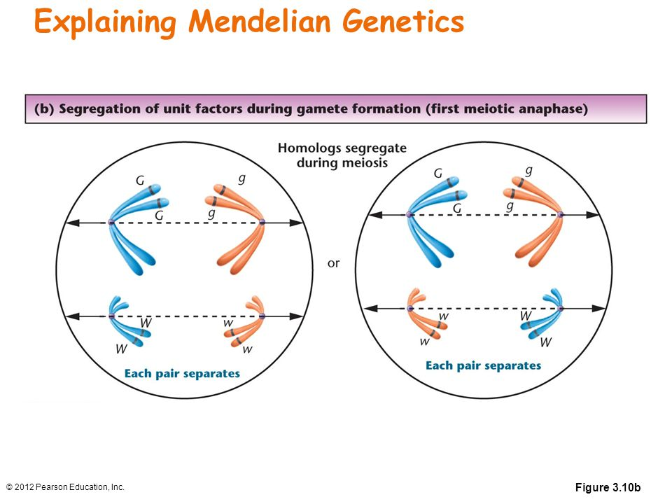 Explaining Mendelian Genetics