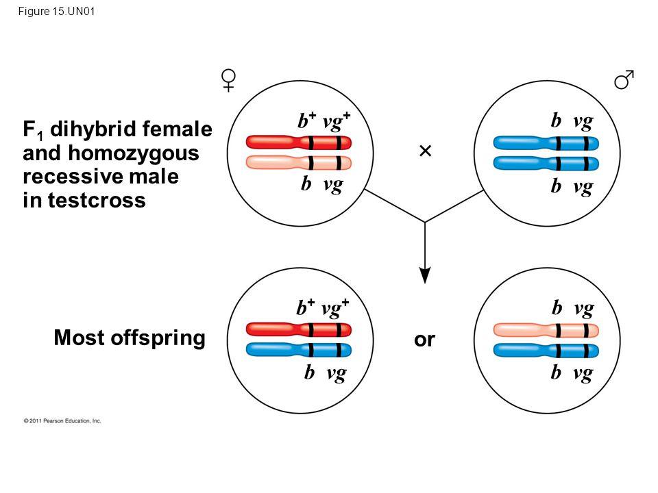 F1 dihybrid female and homozygous recessive male in testcross