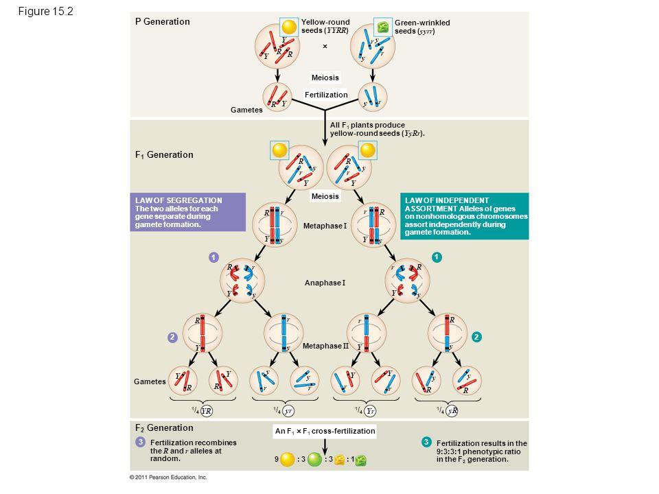 Figure 15.2 The chromosomal basis of Mendel's laws.