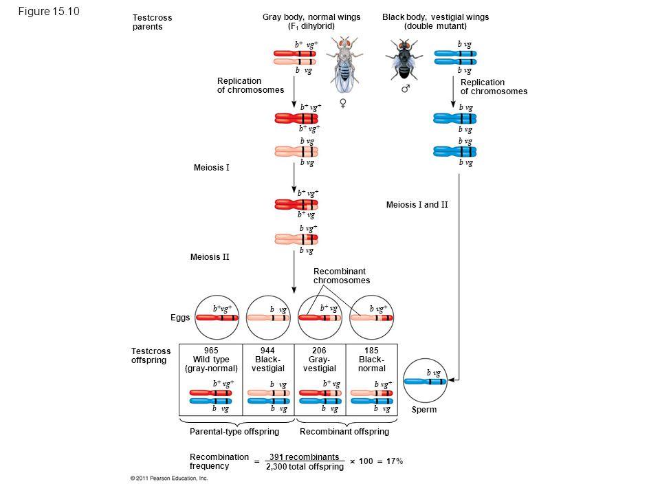 Figure 15.10 Chromosomal basis for recombination of linked genes.