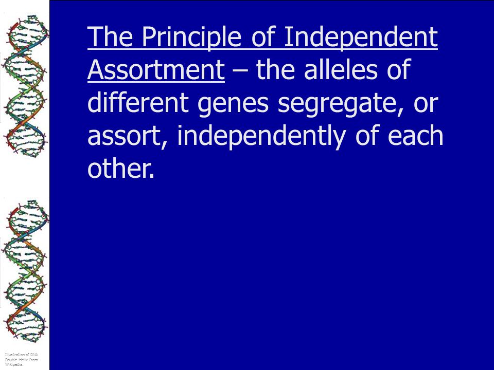 The Principle of Independent Assortment – the alleles of different genes segregate, or assort, independently of each other.