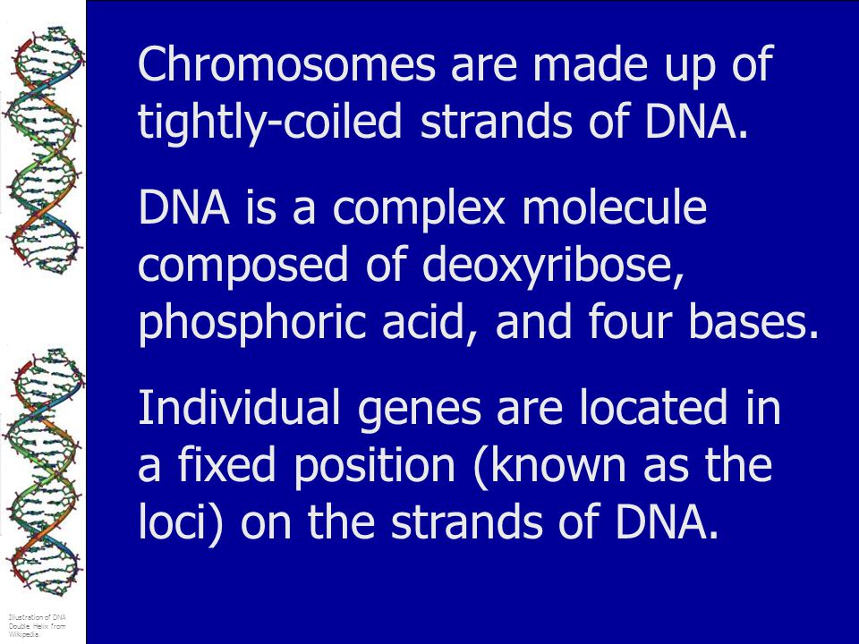 Chromosomes are made up of tightly-coiled strands of DNA.
