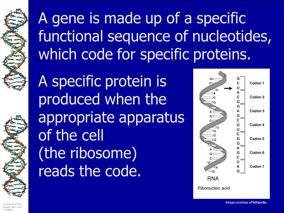 A gene is made up of a specific functional sequence of nucleotides, which code for specific proteins.