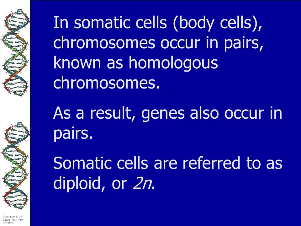 In somatic cells (body cells), chromosomes occur in pairs, known as homologous chromosomes.