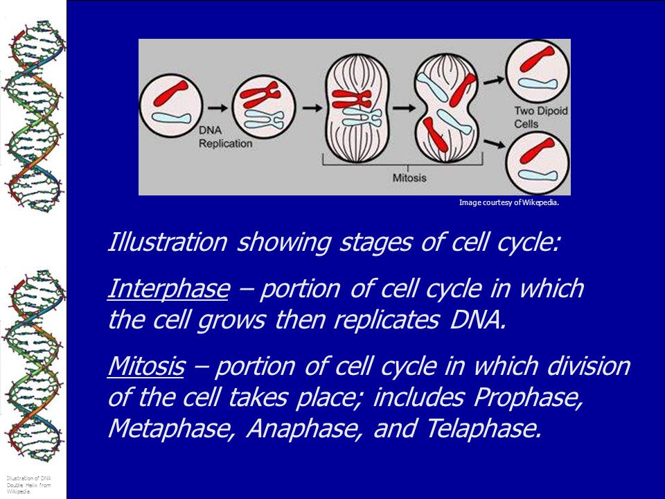 Illustration showing stages of cell cycle: