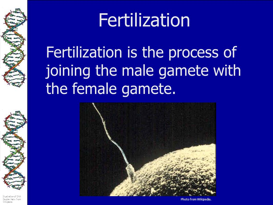 Fertilization Fertilization is the process of joining the male gamete with the female gamete.