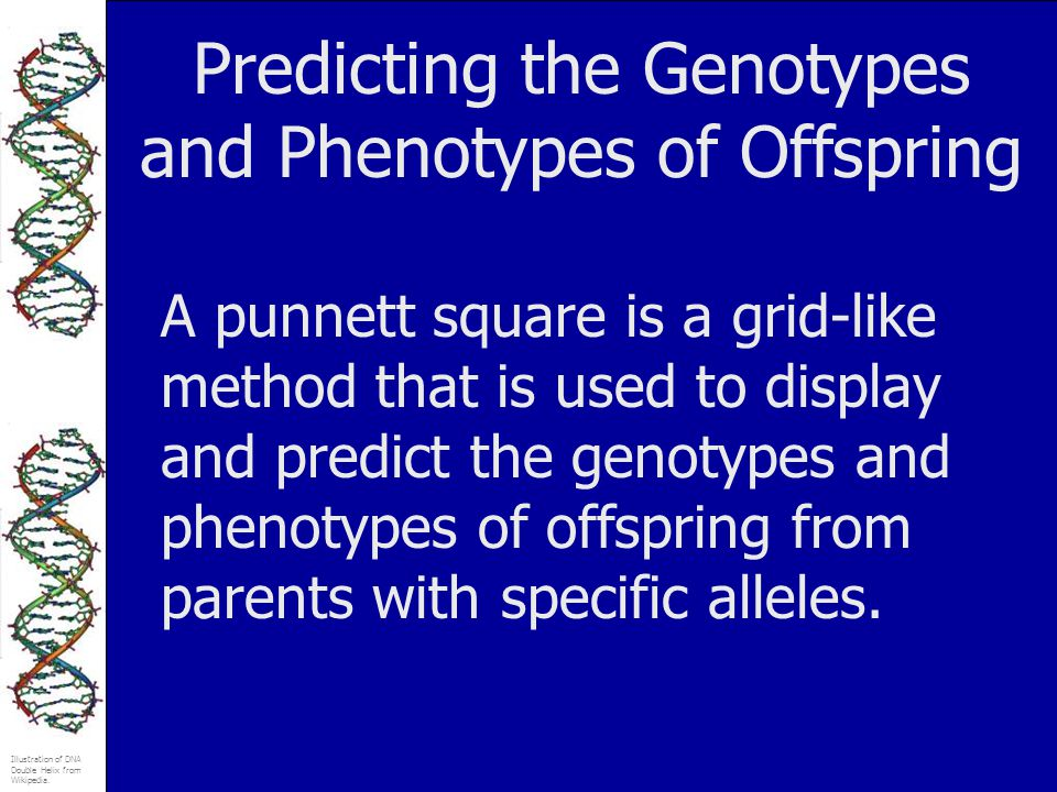 Predicting the Genotypes and Phenotypes of Offspring