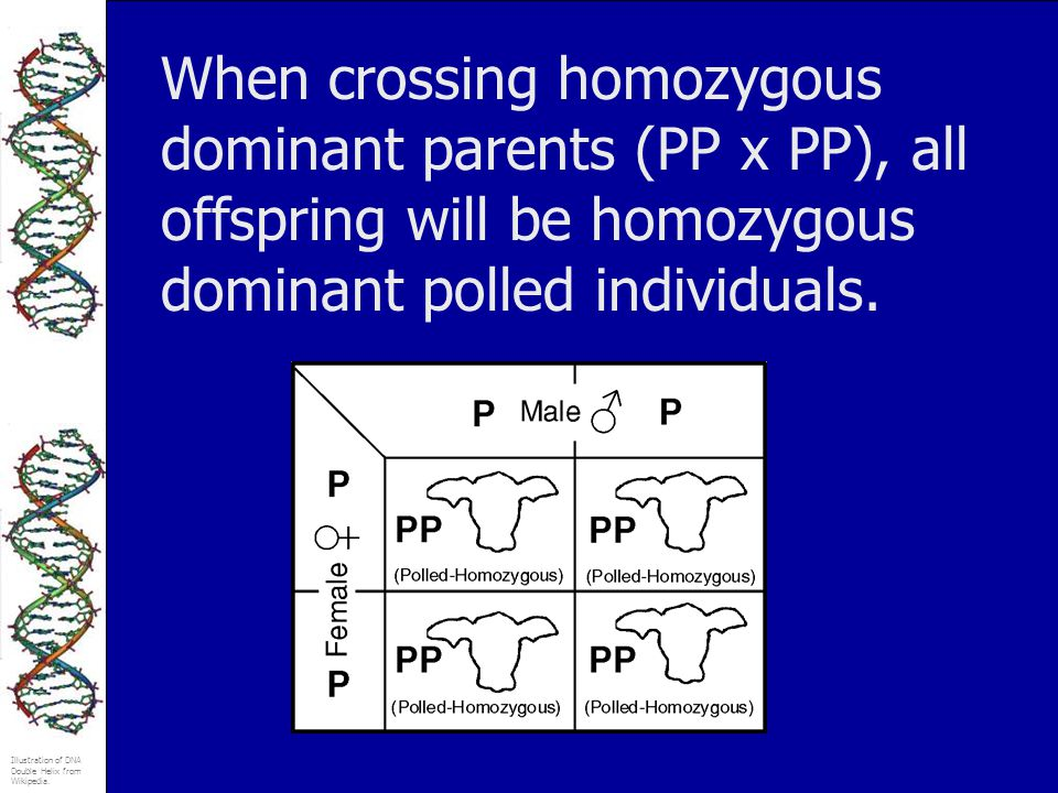 When crossing homozygous dominant parents (PP x PP), all offspring will be homozygous dominant polled individuals.