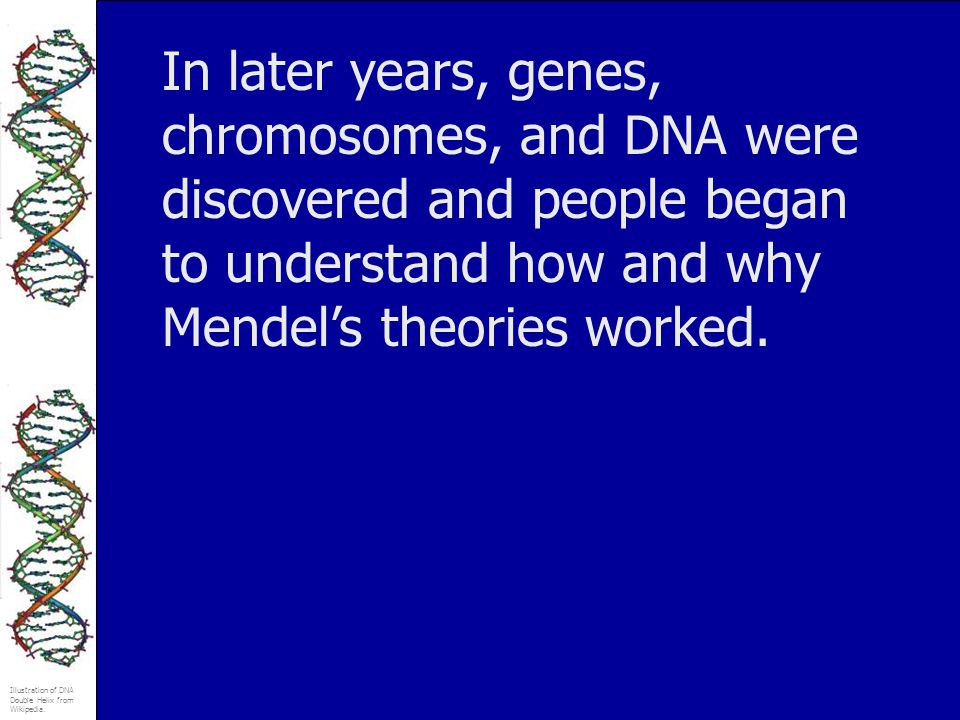 In later years, genes, chromosomes, and DNA were discovered and people began to understand how and why Mendel's theories worked.