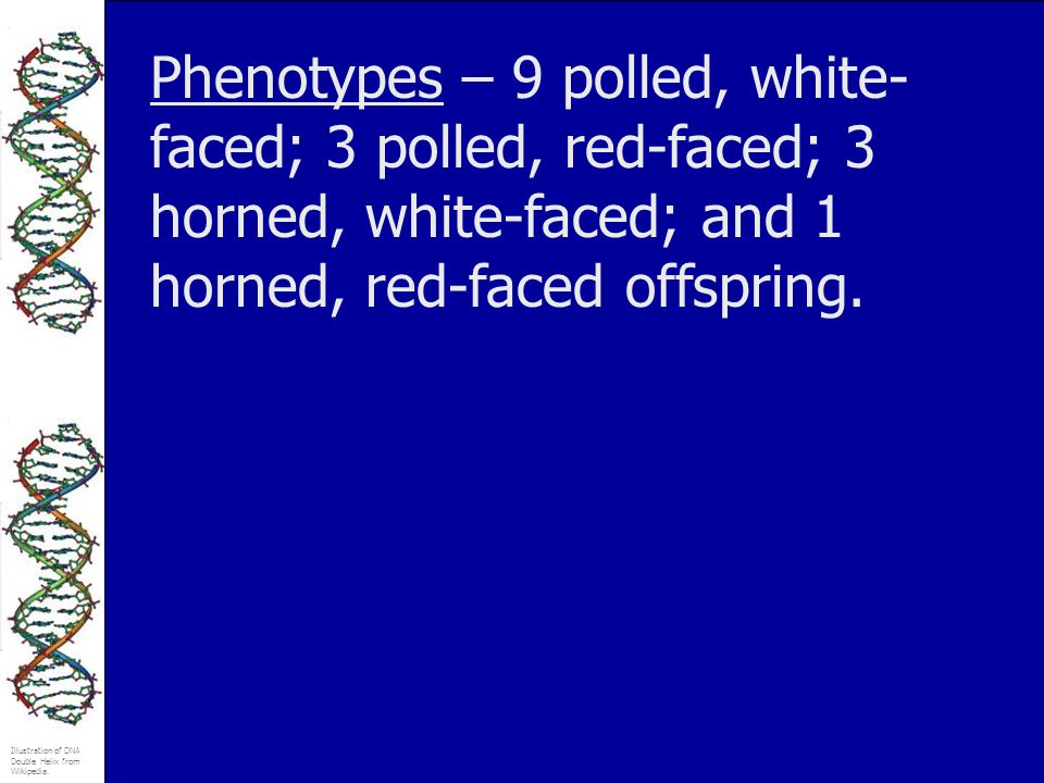 Phenotypes – 9 polled, white-faced; 3 polled, red-faced; 3 horned, white-faced; and 1 horned, red-faced offspring.